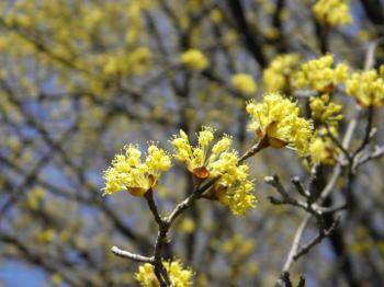 サンシュユ(山茱萸;マンサク科)の小粒の黄金色の花