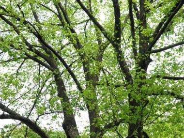 ナツボダイジュの新緑