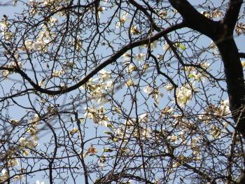 春を告げる無数の小さなコブシ(辛夷;モクレン科)の白い花