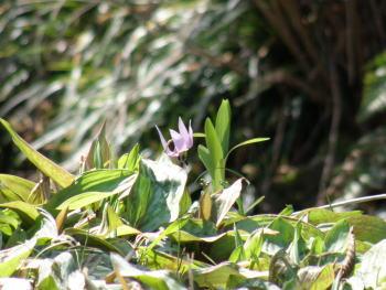 森の妖精カタクリの花