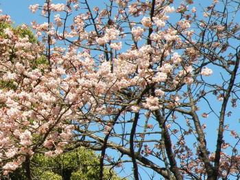 満開のカンザクラ(クスノキの巨木の近く)
