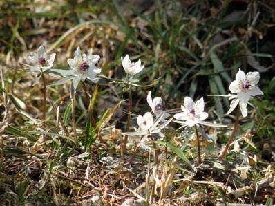 春の光を受け一面に咲き出したセツブンソウ(星野町)